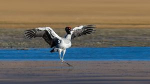 Read more about the article BLACK NECKED CRANE FESTIVAL. (10 Nights & 11 days)